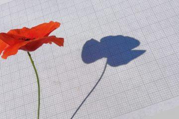 Poppy with shadow